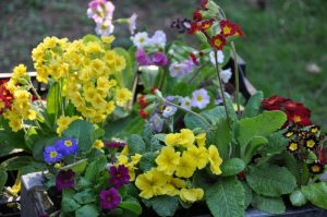 Welcome to the American Primrose Society