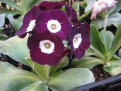 Auricula hybrid by Dean Wiegert (US): 2018 sowing of Henry Pugh's seed S1412 x Crimple