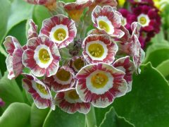 Fancy auricula seedling by Kevin Baker (Canada) Seed from Henry Pugh of NAPS M&W. Flowers pink with grey edge