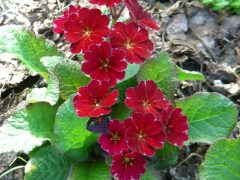 Polyanthus seedling by Kevin Baker (Canada) Seed from 'Dark Rosaleen' x a dark red polyanthus, perhaps a Cowichan