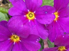 Primula 'Wanda' by Elizabeth Lawson (US): A passalong plant from a friend--Primula 'Wanda', vivid, spreading, and easy