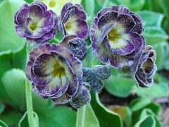 Semi-double auricula seedling by Kevin Baker (Canada) Seed from Maedythe Martin of the APS. Purple flowers with stripes and farina